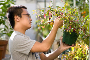 A student worker tends to a fruit plant in a greenhouse.